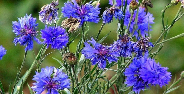 Peygamber çiçeği faydaları nelerdir, mavi kantaron neye iyi gelir?