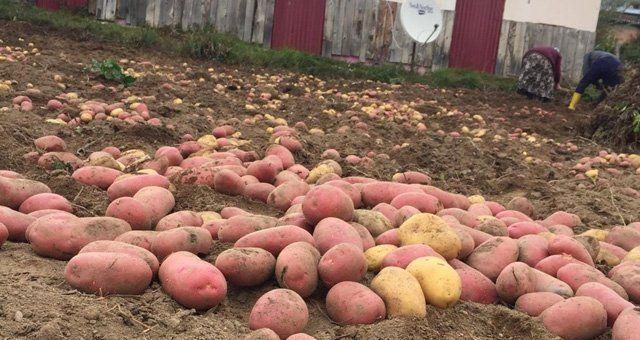Kırmızı Patates